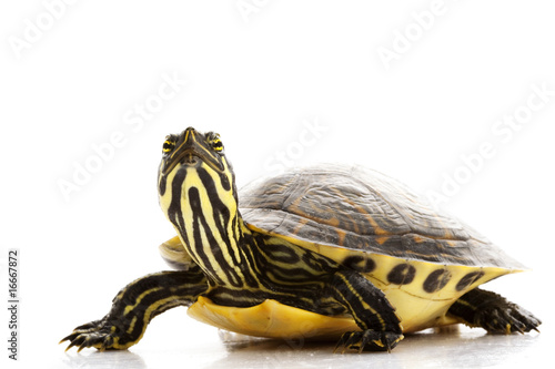 Poster Tortue Yellow-bellied Slider