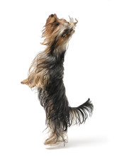 Dog Is Standing On Its Hind Legs