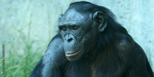 A Close Up Portrait of a Bonobo Chimpanzee Canvas Print