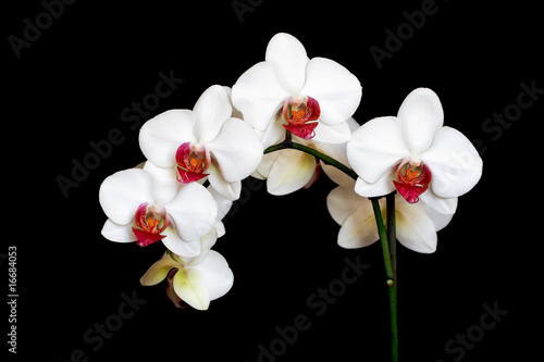 piekna-biala-i-rozowa-orchidea