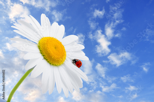 Doppelrollo mit Motiv - Ladybug is sitting on camomile against sky (von Miramiska)