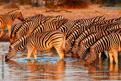 In de dag Zebra Zebras am Wasserloch im Etosha Nationalpark, Namibia