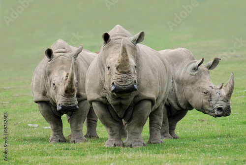 Poster Neushoorn Rhinoceros