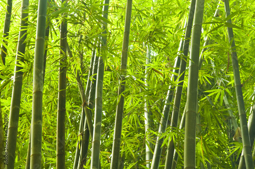 Poster Bamboe bamboo forest