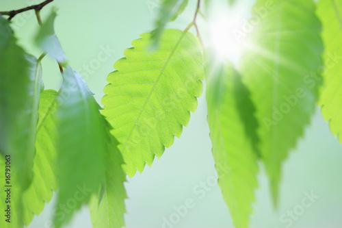 Fototapeta 新緑 obraz na płótnie