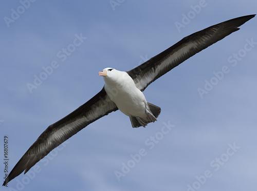 Fotografie, Obraz  Black-browed albatross (Diomedea melanophris)