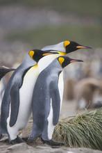 King Penguins Watching