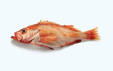 Redfish, Rosefish, Ocean Perch (Rotbarsch)