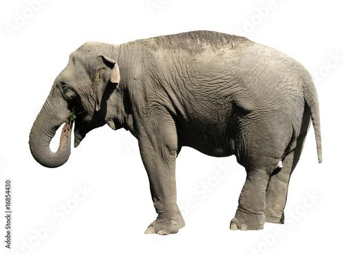 Asian Elephant isolated on white background Wallpaper Mural