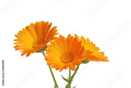 Foto op Aluminium Gerbera the flowers of a calendula