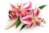 Pink lily on white background