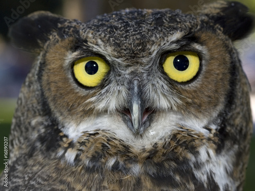 Close up of a great horned owl and its yellow eyes.