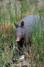 Armadillo Foraging For Food
