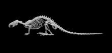 Skelett Australische Schwimmra...