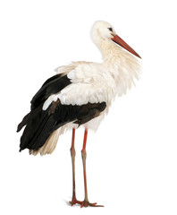 White Stork, standing in front of a white background