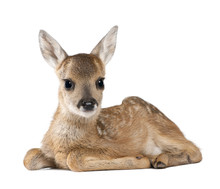 Portrait Of Roe Deer Fawn, Sit...