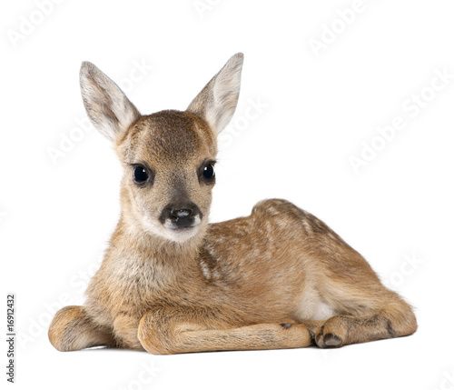 Fotobehang Hert Portrait of Roe Deer Fawn, sitting against white background