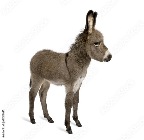 Fotobehang Ezel Side view of donkey foal, standing against white background