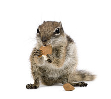 Barbary Ground Squirrel Eating Nuts, Against White Background
