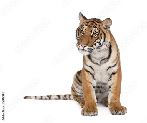 Foto auf AluDibond Tiger Portrait of Bengal Tiger, sitting in front of white background