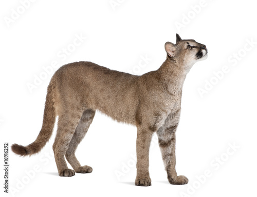 Spoed Fotobehang Puma Puma cub, standing and looking up against white background