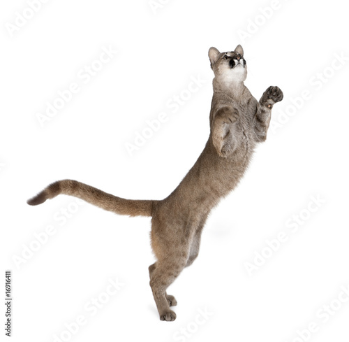 Spoed Fotobehang Puma Puma cub, standing on hind legs against white background