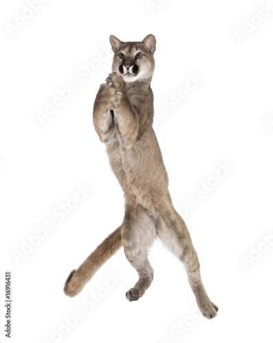 Spoed Fotobehang Puma Puma cub, leaping in midair against white background