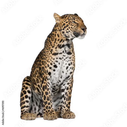 Leopard sitting against white background, studio shot