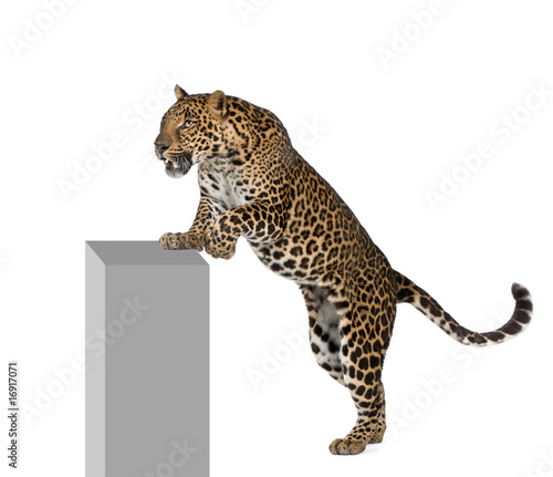 Poster Leopard Leopard climbing on pedestal against white background
