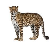 Portrait Of Leopard Standing A...