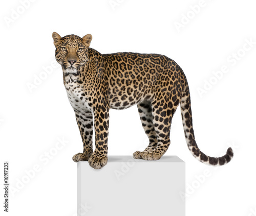 Portrait of leopard on pedestal against white background