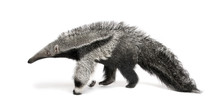 Young Giant Anteater, Walking ...