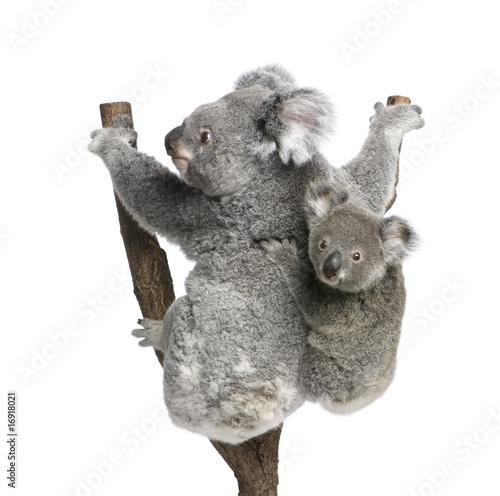 Garden Poster Koala Koala bears climbing tree, in front of white background