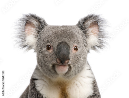 Portrait of male Koala bear, Phascolarctos cinereus, 3 years old