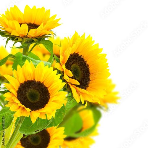 obraz-kwiatu-slonecznika-na-bialym-tle