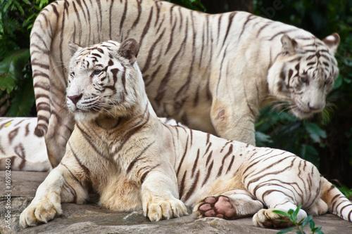 Fotografia, Obraz  white tigers