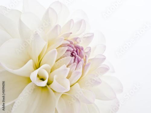 Spoed Foto op Canvas Dahlia Delicate White Dahlia