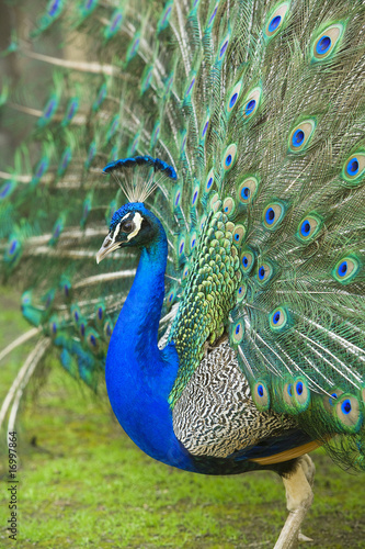 Foto op Aluminium Pauw male peacock with tail feathers spread