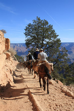 Horses In Grand Canyon