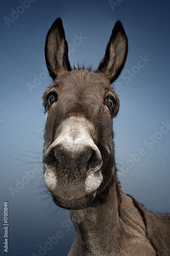 Donkey with blue background