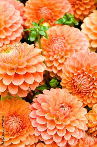 In de dag Dahlia Dahlien, Schnittblumen, Herbstfarben