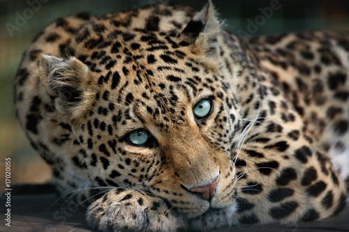 Fototapety, obrazy: Panther
