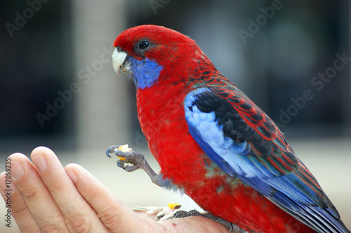 Foto op Aluminium Papegaai Eating parrot