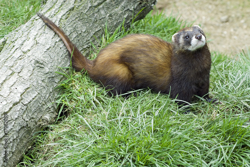 Valokuva  Polecat looking for some fun