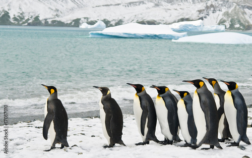 In de dag Pinguin King Penguins in an Icy Bay