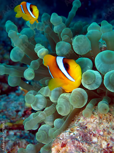 Poster Coral reefs Anemone Fish