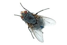Redhead Blue Fly (Calliphora Vicina)