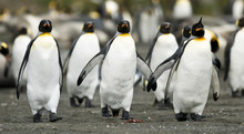 Penguin Trio Walking Together