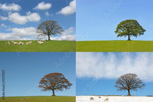 Fotografie, Tablou  Four Seasons of the Oak Tree