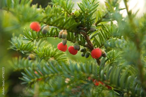 Obraz na plátně yew berries macro